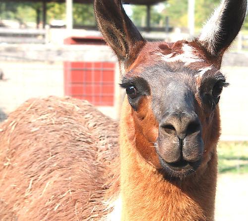 Llama1