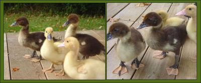 Ducks3_3