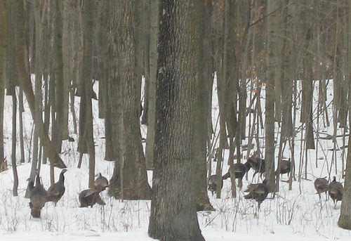 Wildturkeys1